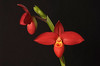 Orchids : Orchid photos.  These plants have received national awards from the American Orchid Society.